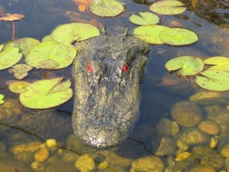 Decoy Alligator Head